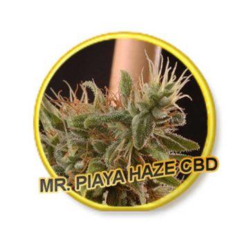 Piaya Haze Cbd Mr Hide Seeds 01