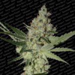 acid-semillas-marihuana-paradise-seeds