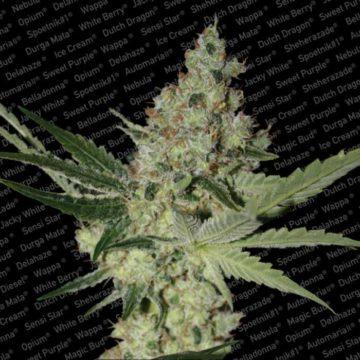 Acid Semillas Marihuana Paradise Seeds