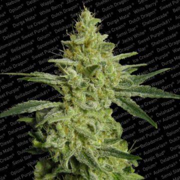 Allkush Semillas Marihuana Paradise Seeds