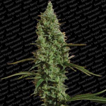 Atomical Haze Semillas Marihuana Paradise Seeds