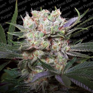 Californian Gold Semillas Marihuana Paradise Seeds