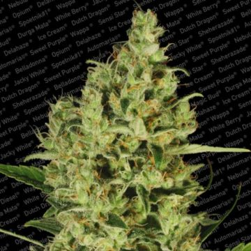 Delahaze Semillas Marihuana Paradise Seeds