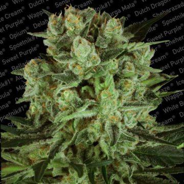 durga-mata-ii-cbd-semillas-marihuana-paradise-seeds