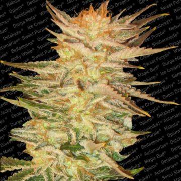 Ice Cream Semillas Marihuana Paradise Seeds