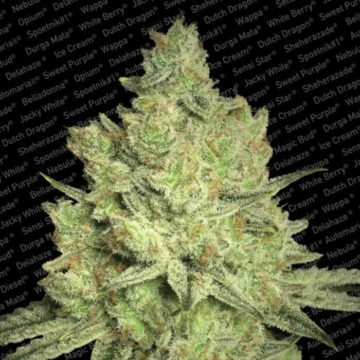 Jacky White Semillas Marihuana Paradise Seeds