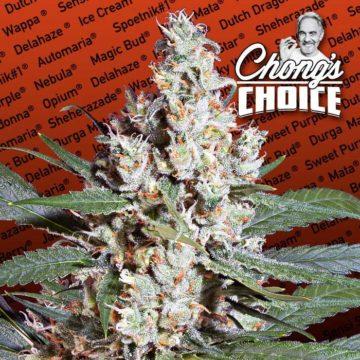 L A Amnesia Semillas Marihuana Paradise Seeds