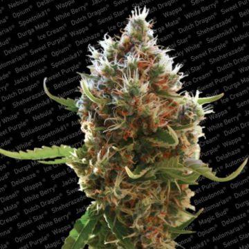 lucid-bolt-semillas-marihuana-paradise-seeds
