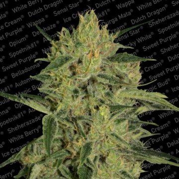 Nebula Ii Cbd Semillas Marihuana Paradise Seeds