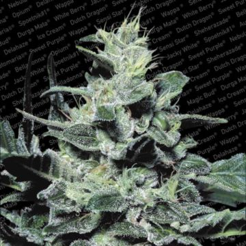 Nebula Semillas Marihuana Paradise Seeds