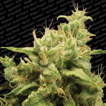 Opium Semillas Marihuana Paradise Seeds