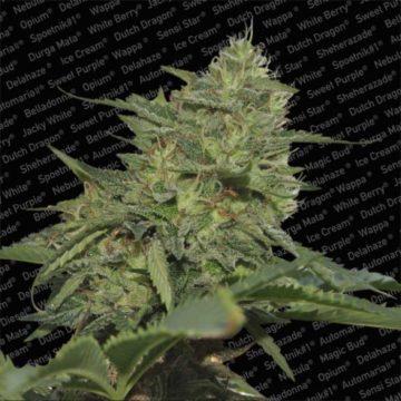Original Cheese Ibl Semillas Marihuana Paradise Seeds