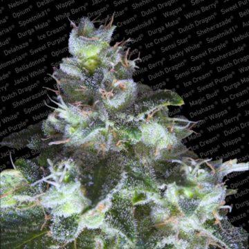 Original White Widow Ibl Semillas Marihuana Paradise Seeds