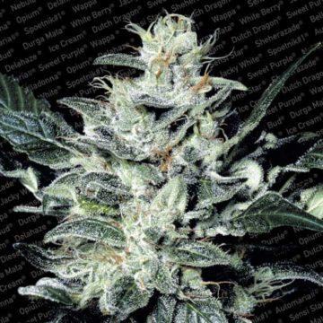 Sensi Star Semillas Marihuana Paradise Seeds
