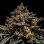 Braincake-Ripper-Seeds-2