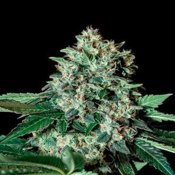 Gorila Bilbo Semillas De Marihuana Feminizadas Genehtik