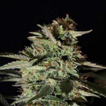 medizinal-cbd-semillas-de-marihuana-feminizadas-genehtik