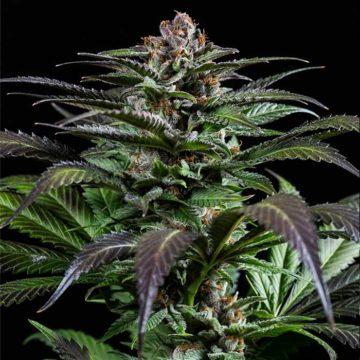 purps-1-semillas-de-marihuana-feminizadas-dinafem