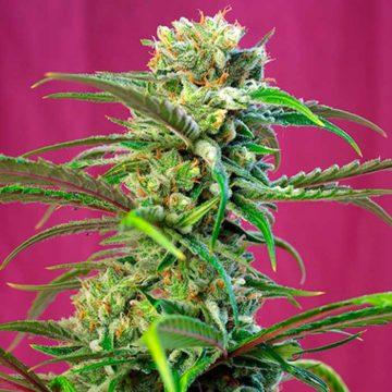 Sweet Tai Semillas De Marihuana Feminizadas Sweet Seeds