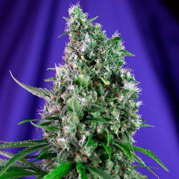 Sweet Trainwreck Auto Semillas De Marihuana Autoflorecientes Sweet Seeds