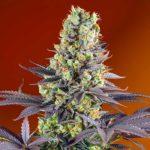 Sweet-Zkittlez-Semillas-De-Marihuana-Feminizadas-Sweet-Seeds-01