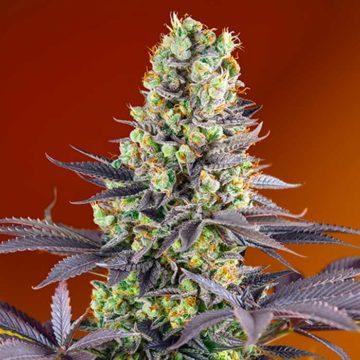 Sweet Zkittlez Semillas De Marihuana Feminizadas Sweet Seeds 01