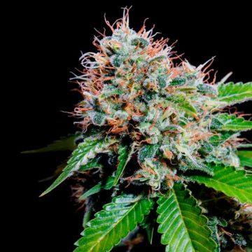 Zuri Widow Semillas De Marihuana Feminizadas Genehtik 01